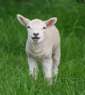 lamb 1.jpg
